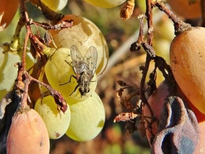2020-12-18 LüchowSss Garten Weintrauben + Fliege (3)