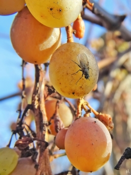 2020-12-18 LüchowSss Garten Weintrauben + Fliege (4)