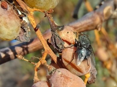 2020-12-18 LüchowSss Garten Weintrauben + Totenfliege (Cynomya mortuorum)(2)