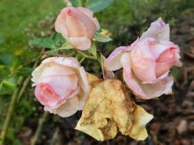 2020-12-25 LüchowSss Garten Rose 'Aspirin' (Tantau)