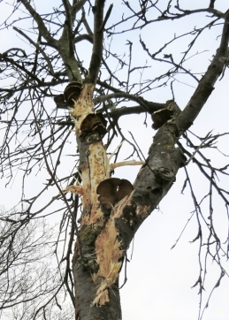2021-01-02 b. LüchowSss 11h Spaziergang Eberesche (Sorbus aucuparia) m. Spechtspuren + Pilzen