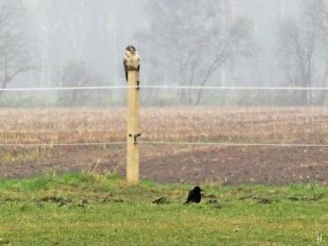 2021-01-02 b. LüchowSss 11h Spaziergang Mäusebussard (Buteo buteo) auf Weidepfahl + Saatkrähe (Corvus frugilegus) am Boden