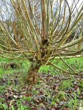 2021-01-02 LüchowSss Garten Bruchweiden-(Salix fragilis)-Kopfweide (noch im Werden)