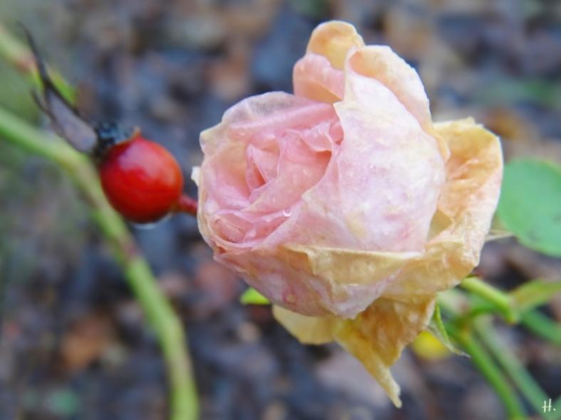 2021-01-05 LüchowSss Garten Beetrose 'Aspirin' (Tantau) mit Hagebutte