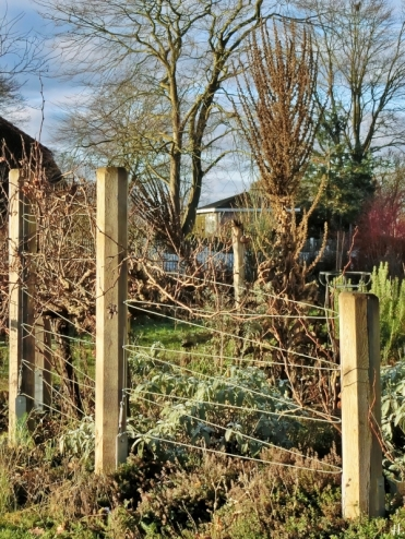 2021-01-14 LüchowSss Garten Kandelaber-Königskerze (Verbascum olympicum) (1)