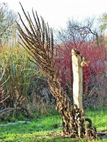 2021-01-14 LüchowSss Garten Kandelaber-Königskerze (Verbascum olympicum) (2)