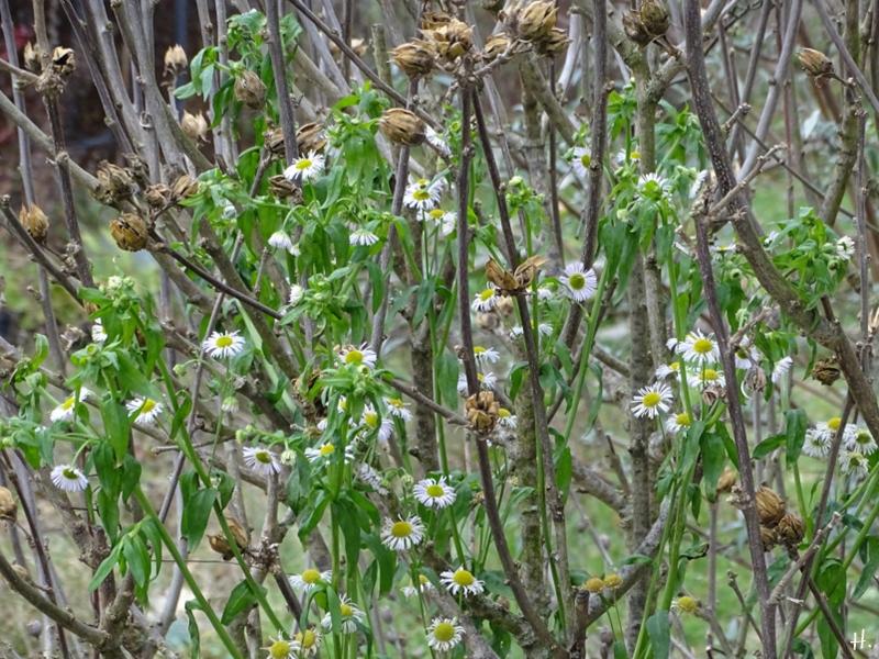 2021-01-16 LüchowSss Garten Feinstrahl (Erigeron annuus) zwischen Garteneibisch-Zweigen