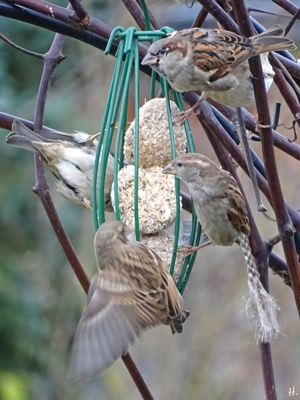 2021-01-16 LüchowSss Garten Vögel - Haussperlinge (Passer domesticus)