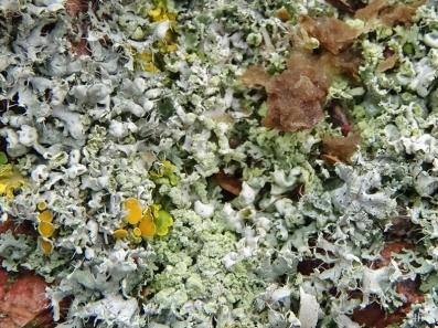 2021-01-20 LüchowSss Garten verschiedene Flechtenarten + ein brauner Pilz auf Stein (1)