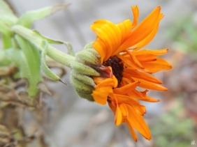 2021-01-20 LüchowSss Garten Ringelblume(Calendula officinalis)