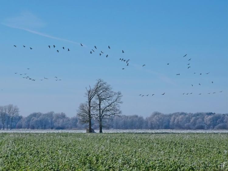 2021-01-31 b.Banneick Königshorster Kanal - Wildgänse im Flug