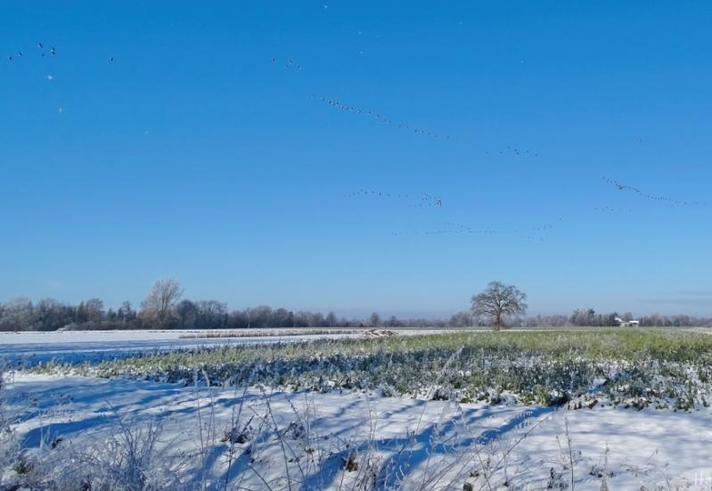 2021-01-31 b.Lüchow Wildgänse im Flug