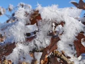 2021-01-31 b.LüchowSss Eichenblätter m. Schnee + Eis'federn' (1)