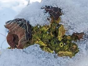 2021-01-31 b.LüchowSss Holunderpilze bzw. Wolkenohrenpilz (Auricularia auricula-judae) im Schee