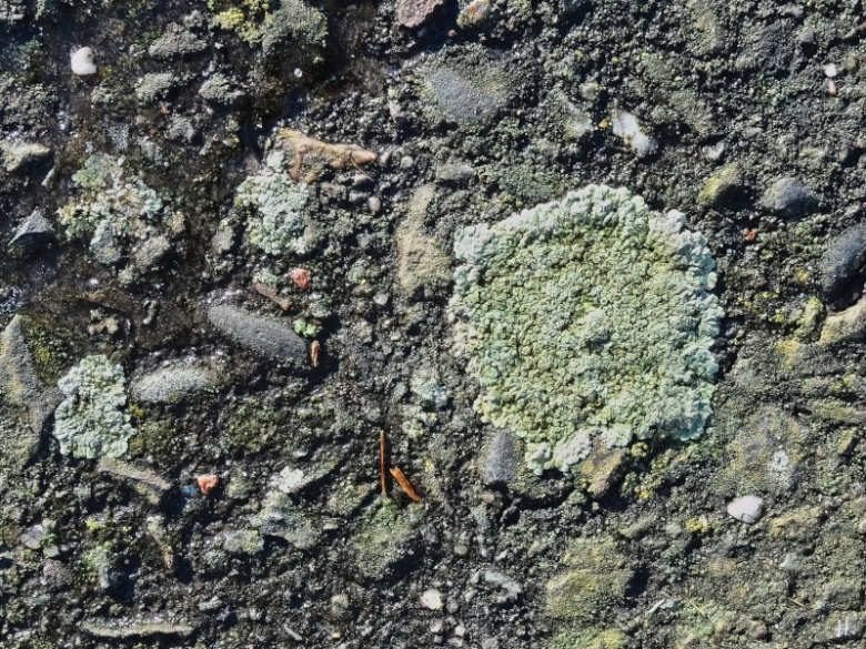 2021-01-31 b.LüchowSss Spaziergang Flechte auf Asphalt - Gewöhnliche Mauerflechte (Lecanora muralis)