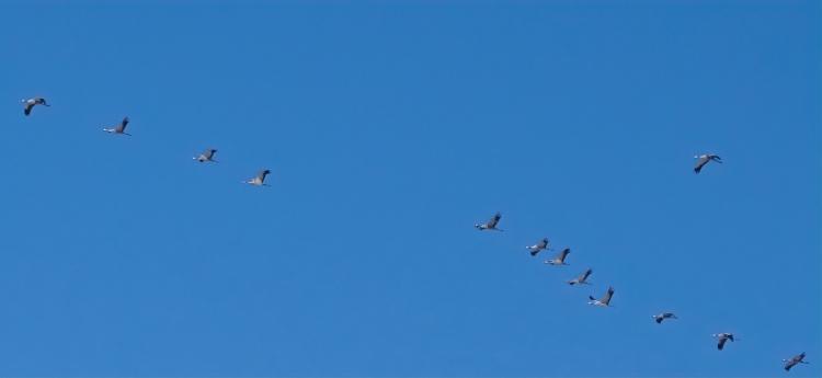 2021-01-31 b.LüchowSss Spaziergang fliegende Kraniche