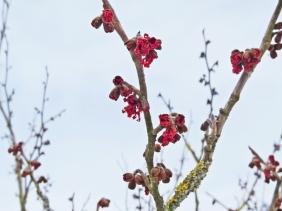 2021-02-09 LüchowSss Garten Rote Zaubernuss (Hamamelis x intermedia), Hybrid-Zaubernuss