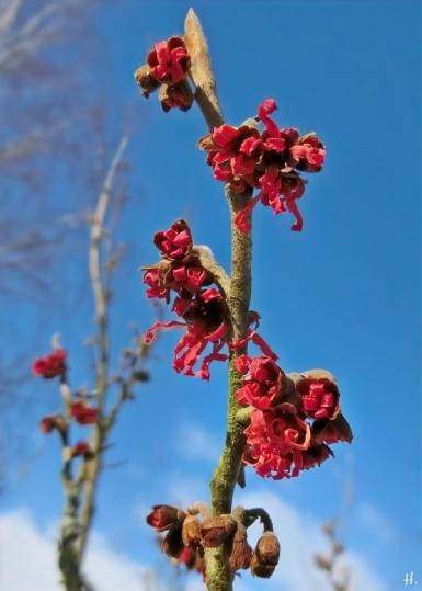 2021-02-10 LüchowSss Garten Rote Zaubernuss (Hamamelis x intermedia)