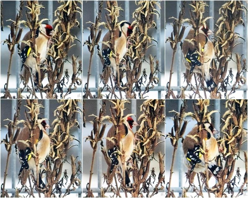 2021-02-10 LüchowSss Garten Stieglitz bzw. Distelfink (Carduelis carduelis) an Nachtkerzen-Samenständen (Oenothera biennis) (1x6)