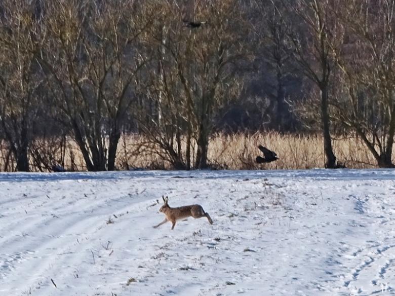 2021-02-12 LüchowSss Spaziergang m. Feldhase (Lepus europaeus)
