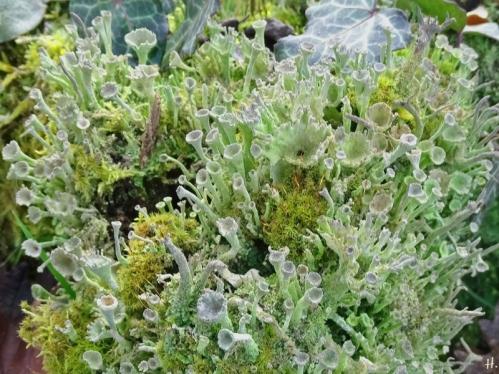 2021-02-20 LüchowSss Garten Echte Becherflechte (Cladonia pyxidata) mit Moosen - Zypressenschlafmoos (Hypnum cupressiforme) + evtl. ein Drehzahnmoose (Tortula spec.)