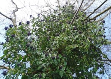 2021-02-20 LüchowSss Garten Efeu (Hedera helix) mit Beeren an der Birke (Betula pendula))