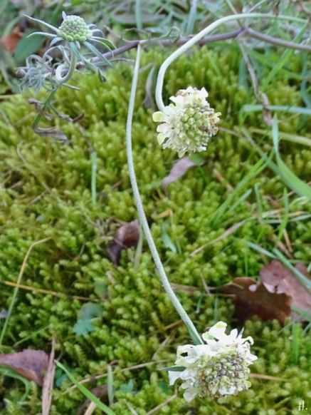 2021-02-20 LüchowSss Garten Gelb-Skabiose (Scabiosa ochroleuca) + Sparriger Runzelpeter (Rhytidiadelphus squarrosus)