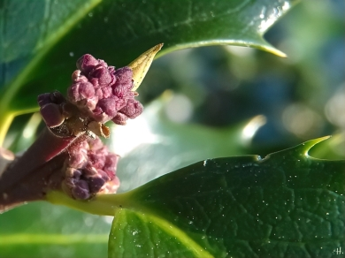 2021-02-21 LüchowSss Garten Europäische Stechpalme (Ilex aquifolium) Knospen
