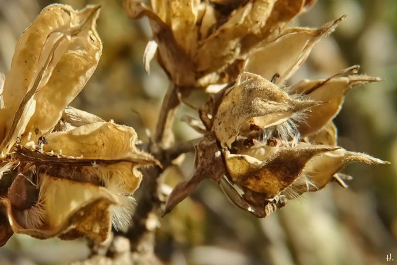 2021-02-21 LüchowSss Garten Garten-Eibisch(Hibiscus syriacus)