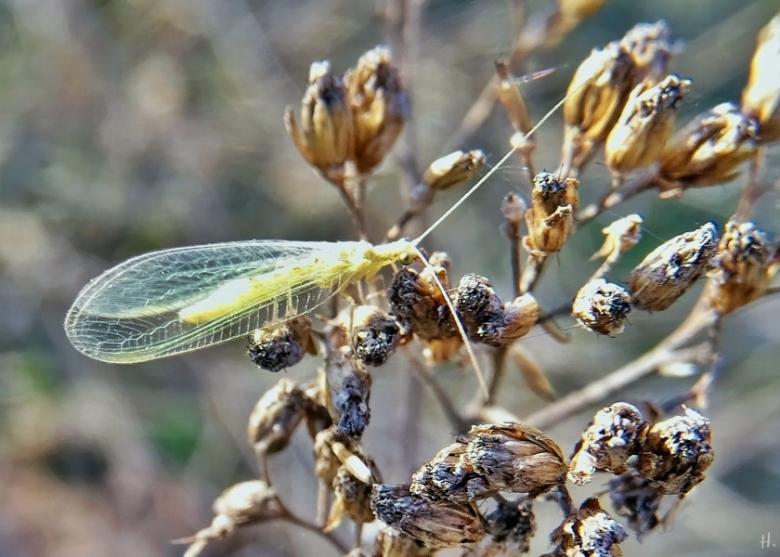 2021-02-21 LüchowSss Garten Gemeine Florfliege (Chrysoperla carnea) auf Wieseninsel