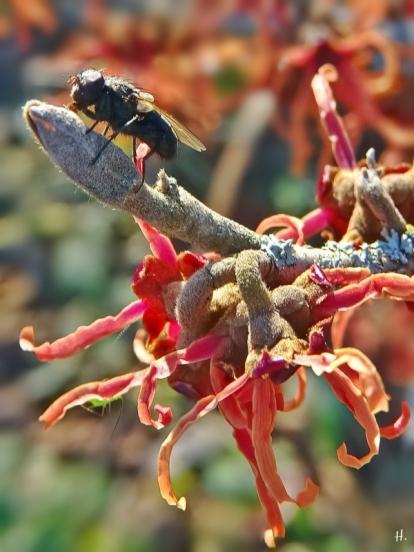 2021-02-21 LüchowSss Garten Rote Zaubernuss (Hamamelis x intermedia) mit Fliege + Blattlaus(2)