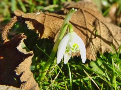 2021-02-21 LüchowSss Garten Schneeglöckchen (Galanthus nivalis)
