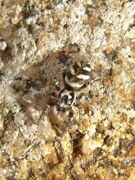 2021-02-21 LüchowSss Garten Zebraspringspinne (Salticus scenicus) auf Stein