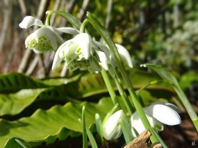 2021-02-24 LüchowSss Garten 5 Schneeglöckchen(Galanthus nivalis 'Flore pleno')