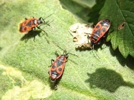 2021-02-24 LüchowSss Garten Feuerwanzen (Pyrrhocoris apterus) (4)