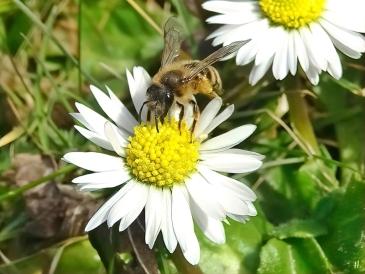 2021-02-24 LüchowSss Garten Gewöhnliche Sandbiene (Andrena flavipes) + Gänseblümchen (Bellis perennis) (3)