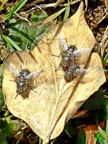 2021-02-25 LüchowSss Garten Fliegen in der Sonne auf einem trockenen Efeu-Blatt