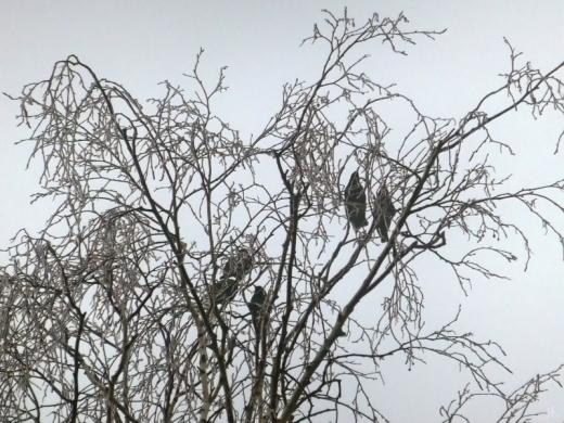 2021-03-02 LüchowSss morgens Garten Nebel + Frost, Birke + Stare