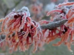 2021-03-02 LüchowSss morgens Garten Nebel + Frost Zaubernuss-Blüten (2)