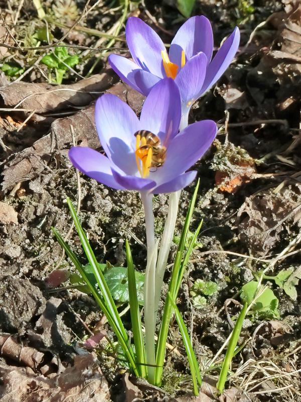 2021-03-03 LüchowSss Garten vomi Elfenkrokus (Crocus tommasinianus) + Honigbiene (Apis mellifera) (1)