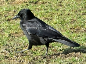 2021-03-03 LüchowSss Spaziergang Rabenkrähe (Corvus corone corone) (2)