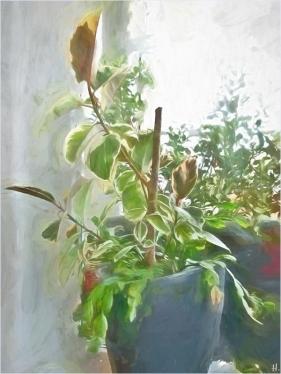 2021-03-09 zuhause Zimmerpflanzen Gummibaum + Weihnachtskaktus 2 (2)