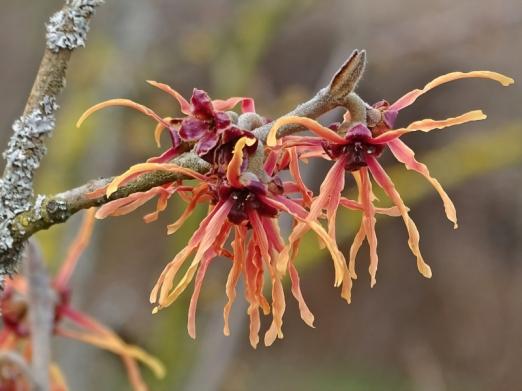 2021-03-10 LüchowSss Garten Rote Zaubernuss-Blüten