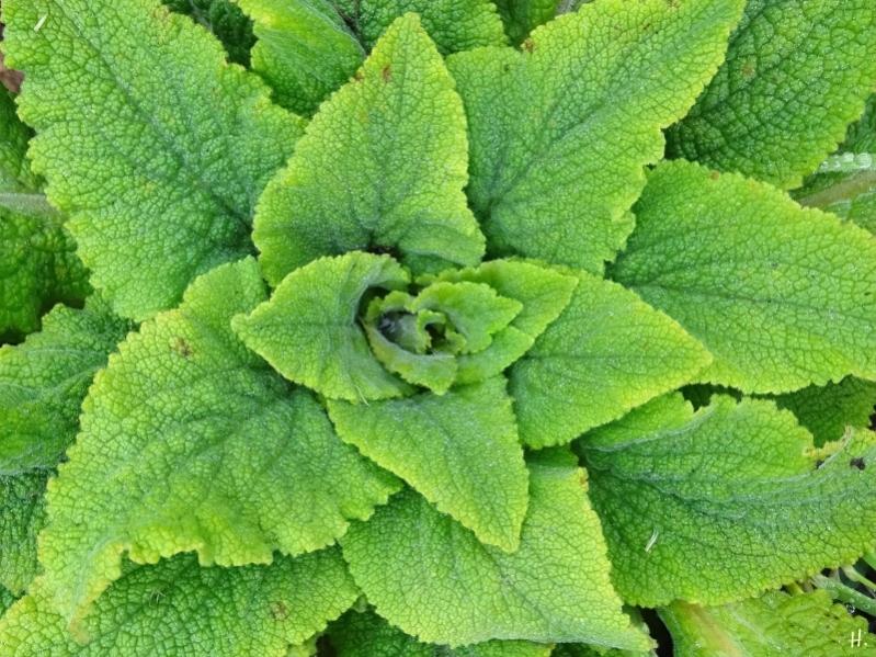 2021-03-18 LüchowSss Garten Fingerhut (Digitalis purpurea) Blattrosette