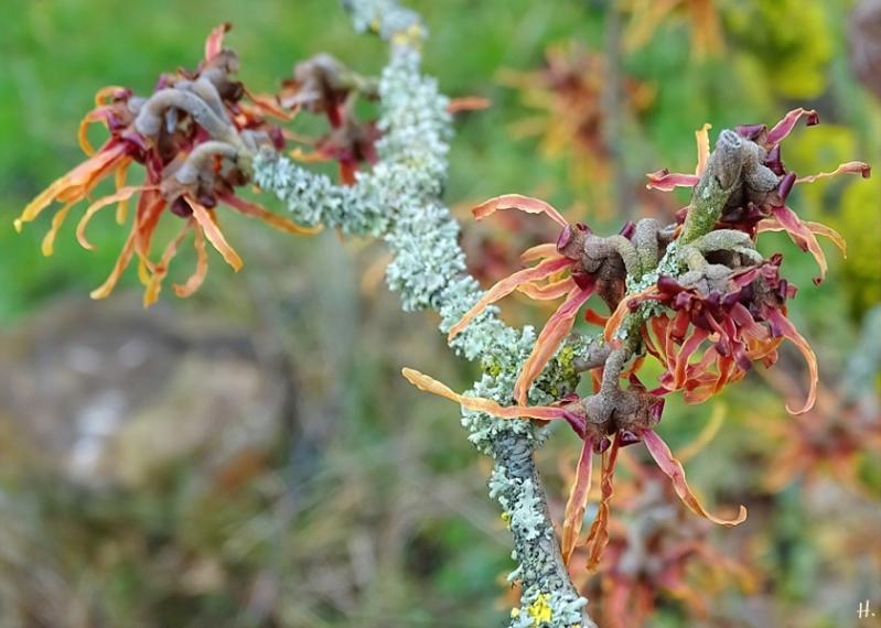 2021-03-18 LüchowSss Garten (3) rotblühende Zaubernuss