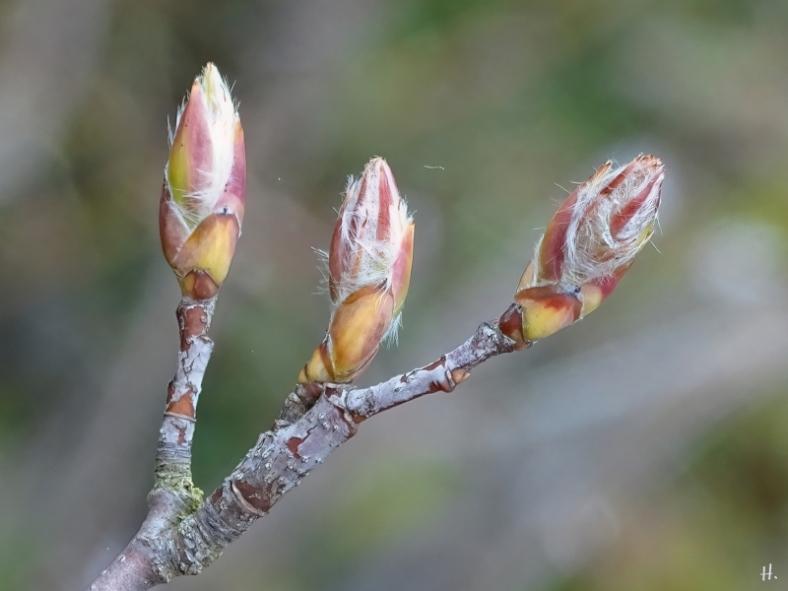 2021-03-18 LüchowSss Garten Knospen der Felsenbirne (Amelanchier lamarckii)