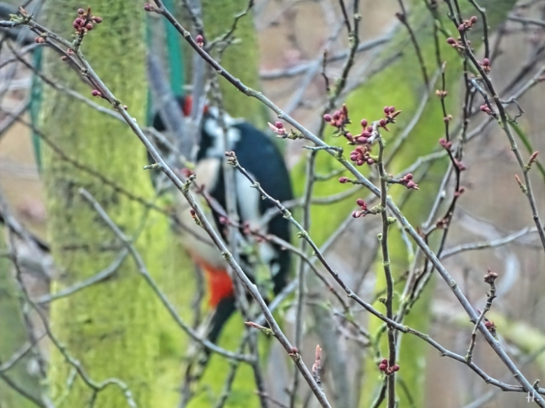 2021-03-22 LüchowSss Garten Buntspecht (Dendrocopos major) + Blutpflaume (Prunus cerasifera 'Nigra') (1)