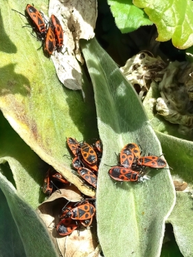 2021-03-22 LüchowSss Garten Feuerwanzen (Pyrrhocoris apterus)-Versammlung.JPG