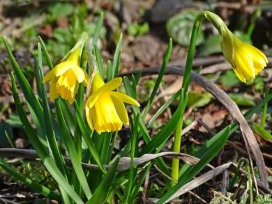 2021-03-22 LüchowSss Garten Mini-Narzissen