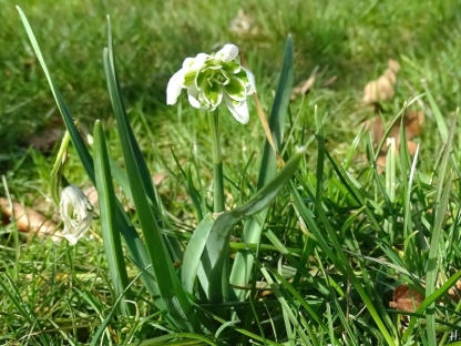 2021-03-22 LüchowSss Garten Schneeglöckchen im Rasen.JPG